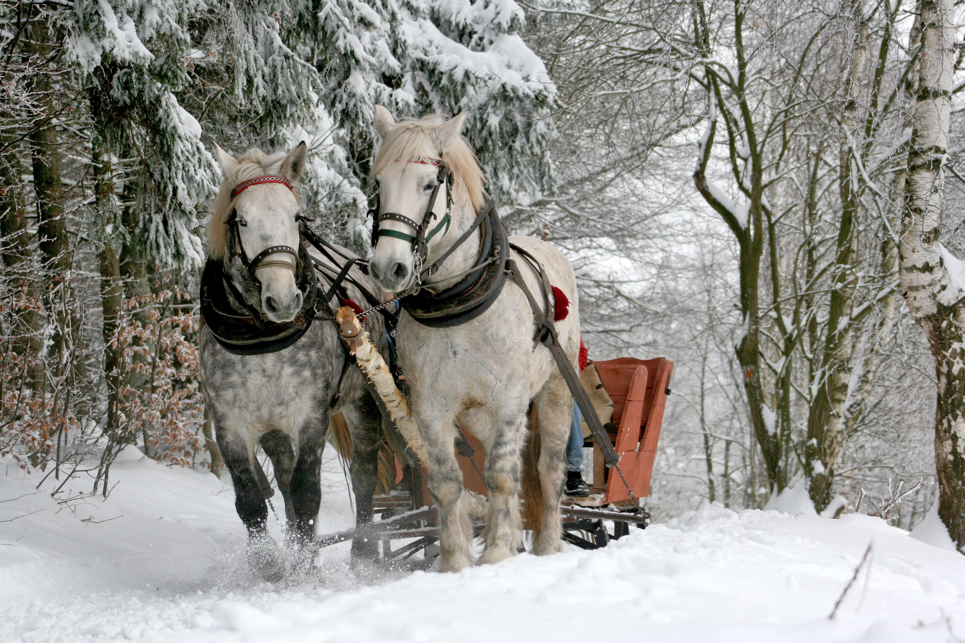 Horse-drawn sleigh ride